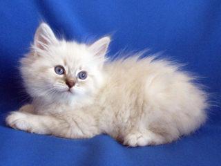 Cat-a-tet Lorens